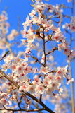 Japanese Cherry blossoms tree Royalty Free Stock Photography