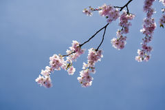 Japanese cherry branch in bloom Stock Photography