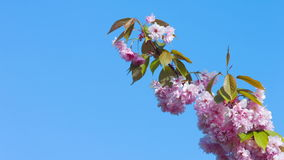 Japanese cherry branch flowers on blue sky. Pink japanese cherry blossoms nature background, shot in RAW 4K stock footage