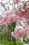 Japanese cherry Stock Photos