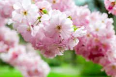 Japanese cherry close-up Royalty Free Stock Images