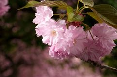 Japanese cherry flower blossom in spring. Beautiful spring background with pink Japanese cherry flowers closeup on a branch on the blurred background of stock photo