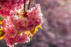 Japanese cherry flower blossom in spring. Beautiful spring background with pink Japanese cherry flowers closeup on a branch on the blurred background of stock photography