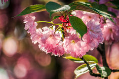 Japanese cherry flower blossom in spring. Beautiful spring background with pink Japanese cherry flowers closeup on a branch on the blurred background of stock photos