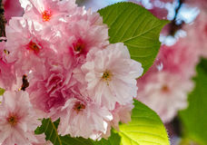 Japanese cherry flower blossom in spring. Beautiful spring background with pink Japanese cherry flowers closeup on a branch on the blurred background of royalty free stock image