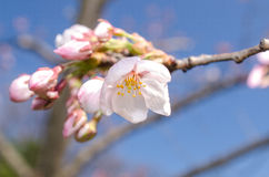 Japanese cherry flower Stock Images