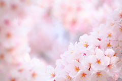 Japanese cherry flower. In pink Royalty Free Stock Photos