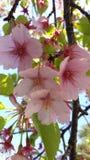 Japanese Cherry flower Stock Photos