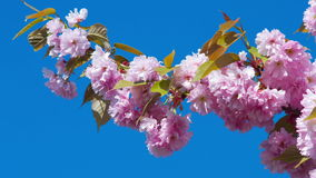 Japanese cherry flowers on blue sky. Pink japanese cherry blossoms nature background, shot in RAW 4K stock video footage
