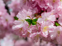 Japanese cherry flowers close-up Royalty Free Stock Image