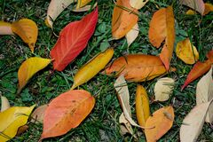 japanese-cherry-leaves-in-different-shades Royalty Free Stock Images
