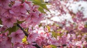 Japanese cherry Stock Photos
