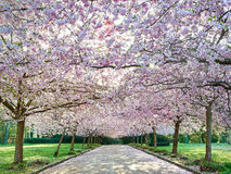 Japanese Cherry (Prunus serrulata) at bispebjerg cemetery in Cop Royalty Free Stock Image