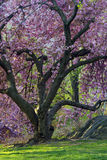 Japanese Cherry, Prunus serrulata Stock Photo