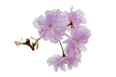 Japanese Cherry (Prunus serrulata). Isolated branch of Japanese Cherry Blossoms Stock Photos