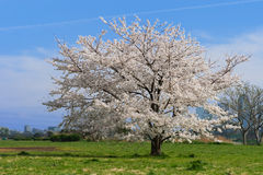 Japanese Cherry-Prunus sp. Royalty Free Stock Photos