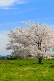 Japanese Cherry-Prunus sp. Royalty Free Stock Images