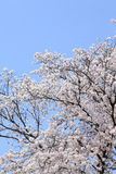 Japanese cherry (sakura) blossom Royalty Free Stock Photography