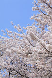 Japanese cherry (sakura) blossom Royalty Free Stock Images