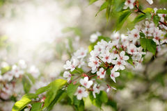 Japanese cherry Sakura Royalty Free Stock Photo