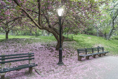 Japanese Cherry spring in Central Park Stock Photo