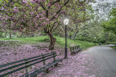 Japanese Cherry spring in Central Park Royalty Free Stock Photo