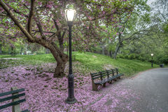 Japanese Cherry spring in Central Park Royalty Free Stock Photography