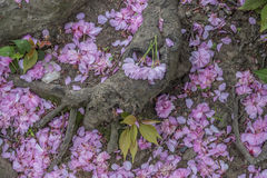 Japanese Cherry spring in Central Park Stock Photos