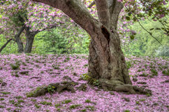 Japanese Cherry spring in Central Park Royalty Free Stock Image