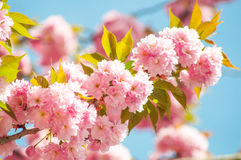 Japanese cherry in springtime Royalty Free Stock Image
