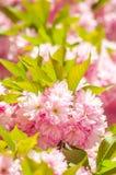Japanese cherry in springtime Stock Image