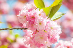 Japanese cherry in springtime Stock Images