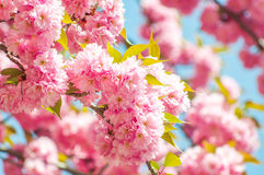 Japanese cherry in springtime Royalty Free Stock Photos