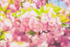 Japanese cherry in springtime Royalty Free Stock Photo
