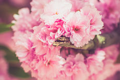 Japanese cherry in springtime Royalty Free Stock Images