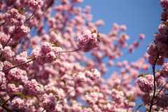 Japanese cherry Royalty Free Stock Images