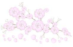Japanese cherry tree royalty free stock photo