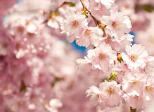 Japanese cherry tree Royalty Free Stock Photography