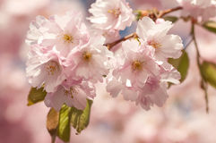 Japanese cherry tree Royalty Free Stock Photo