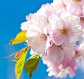 Japanese cherry tree Stock Images