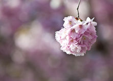Japanese cherry tree Stock Image