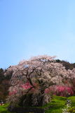 Japanese cherry tree Royalty Free Stock Photos