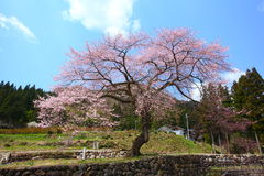 Japanese cherry tree Stock Photo