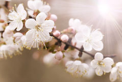 Japanese cherry tree Stock Photography