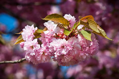 Japanese cherry-tree blossom Stock Photo