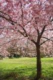 Japanese cherry tree blossom park Denmark spring Royalty Free Stock Photo