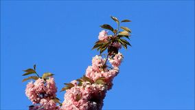Japanese cherry tree blossoms against blue sky stock video