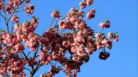 Japanese cherry tree blossoms. Against blue sky stock video