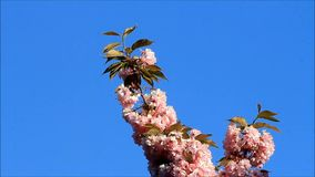 Japanese cherry tree blossoms against blue sky stock footage