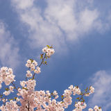 Japanese cherry Stock Images